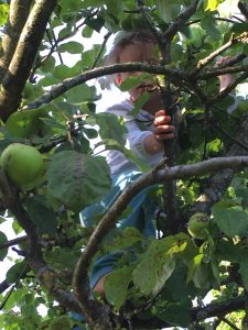 Alice Burford shimmies up apple trees as quickly as I can manage a (small) ladder